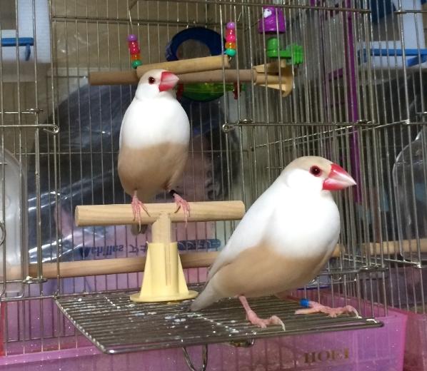 文鳥 シナモン